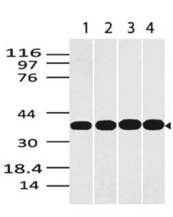 Fig-1: Western blot analysis of GAPDH. Anti- GAPDH antibody (Clone: ABM22C5) was used at 0.5 µg/ml on (1) Panc-1, (2) EL-4, (3) Jurkat and (4) HepG2 lysates.