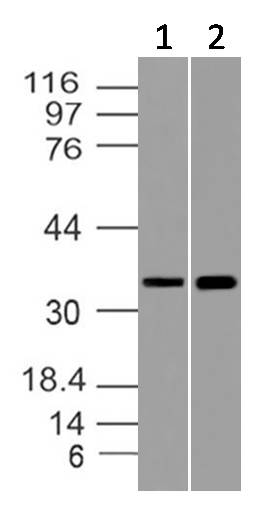 Fig-4: Western blot analysis of GAPDH. Anti- GAPDH antibody (Clone: ABM22C5) was used at 4 µg/ml on (1) CHO-K1 and (2) CHO/PD1 transfected Lysates.