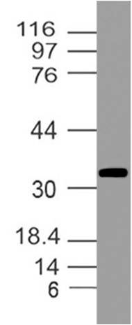 Fig-5: Western blot analysis of GAPDH. Anti- GAPDH antibody (Clone: ABM22C5) was used at 4 µg/ml on Raw cell  Lysate.