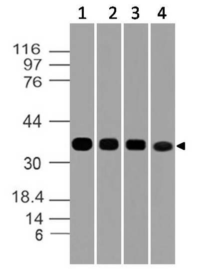 Fig-6: Western blot analysis of GAPDH. Anti- GAPDH antibody (Clone: ABM22C5) was used at 1 µg/ml on (1) h Lung, (2) h Testis, (3) h Liver and (4) h Ovary lysates.