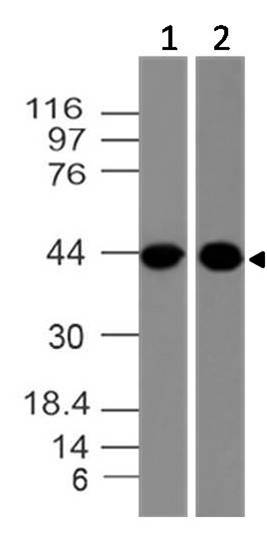 Monoclonal Antibody to ClEC9A  (Clone: ABM23H8)