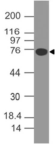Fig-3: Western blot analysis of B7H4. Anti-B7H4 antibody (Clone: ABM53A6) was used at 4 µg/ml on human B7H4-FC fusion protein Lysate.