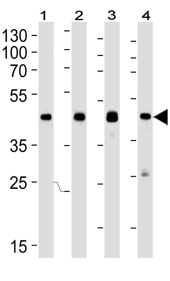 Mouse Monoclonal Antibody to CREB1 (Clone: 1335CT115.203.189)