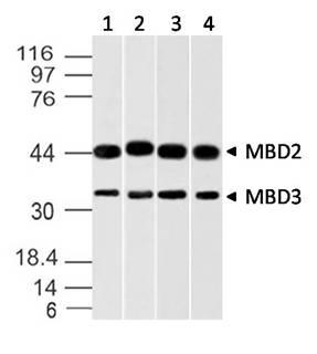 Monoclonal Antibody to MBD2/MBD3 (Clone: ABM14A8)