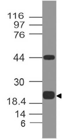 Fig-3: Western blot analysis of PDL1. Anti-PD-L1 antibody (Clone: ABM5F25) was tested at 0.5 µg/ml on Recombinant lysate.