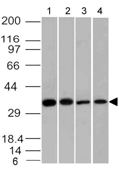 Fig-1: Western blot analysis of EpCAM. Anti- EpCAM antibody (Clone: ABM53D8) was used at 2 µg/ml on Raji, HCT116, Molt-4 and  Ramos lysates.