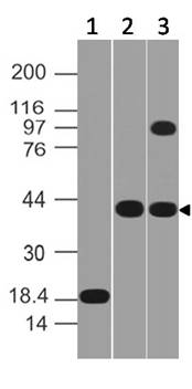 Figure-1: Western blot analysis of MSI-1. Anti-MSI1 was used at  0.5 µg/ml on Recombinant and 2 µg/ml in Pancrease and HepG2 Lysates.