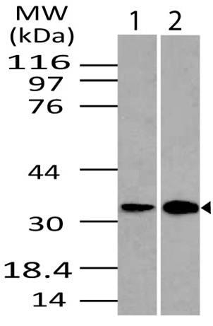 Fig-1: Western blot analysis of DRAM. Anti- DRAM antibody (11-1001) was used at 4 µg/ml on (1) Kidney and (2) Lungs lysates.
