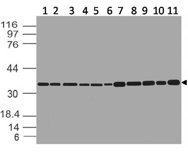 Figure-1: Western blot analysis of  GAPDH. Anti- GAPDH antibody (11-13024) was used at 1 µg/ml on (1) h Brain, (2) h Heart, (3) h Small Intestine, (4) h Kidney, (5) h Liver, (6) h Lung, (7) h Skeletal Muscle, (8) h Stomach, (9) h Spleen, (10) h Ovary, (11) h Testis lysates.