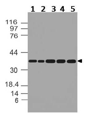 Figure-3: Western blot analysis of  GAPDH. Anti- GAPDH antibody (11-13024) was used at 1 µg/ml on (1) m Kidney, (2) m Liver, (3) m Lung, (4) m Skeletal Muscle and (5) m Testis lysates.