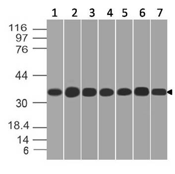 Figure-4: Western blot analysis of  GAPDH. Anti- GAPDH antibody (11-13024) was used at 1 µg/ml on (1) 3T3, (2) Hela, (3) Jurkat, (4) PC3, (5) HCT-116, (6) Snu1 and (7) PANC-1 lysates.