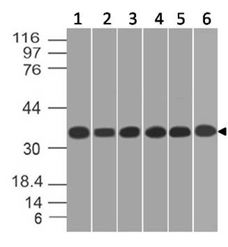 Figure-5: Western blot analysis of  GAPDH. Anti- GAPDH antibody (11-13024) was used at 1 µg/ml on (1) K562, (2) A549, (3) MCF-7, (4) 293, (5) A431 and (6) HepG2 lysates.