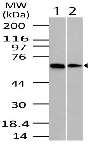 Fig-1: Western blot analysis of DUBA  . Anti-DUBA  antibody (11-3014) was used at 4 µg/ml on 1) Kidney and 2) 3T3 lysates.