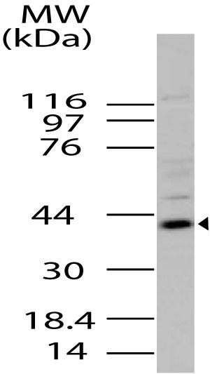Polyclonal Antibody to Viperin