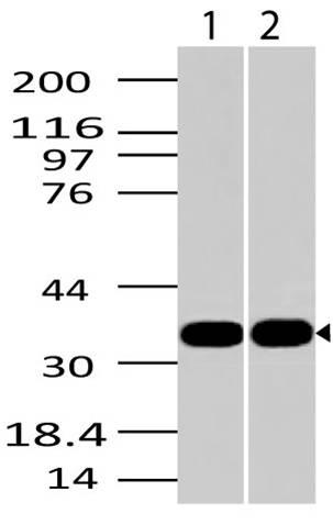 Fig-1: Western blot analysis of AIMP1. Anti-AIMP1 antibody (11-3035) was used at 2 µg/ml on 1) Hela and 2) MCF-7 lysates.