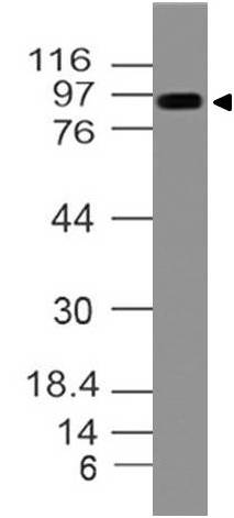 Figure-1:Western blot analysis of mTLR4. Anti- mTLR4 antibody (11-3039) was used at 2 µg/ml on m Colon lysate.