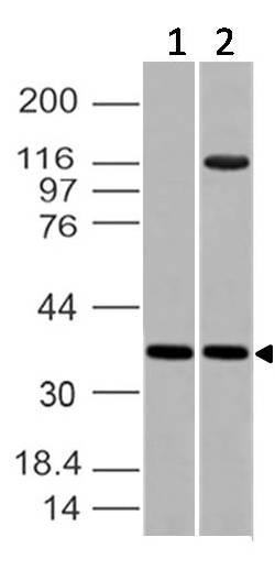 Fig-1: Western blot analysis of Embigin, EMB. Anti-Embigin, EMB antibody (11-4013) was used at 2 µg/ml on (1) PC3 and (2) Jurkat lysates.
