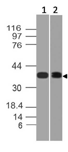 Figure-1: Western blot analysis of HDAC11. Anti-HDAC11 antibody (11-7035) was used at 4 µg/ml on (1) Hela and (2) 3T3 lysates.