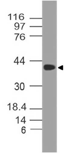 Figure-1: Western blot analysis of SETD7. Anti-SETD7 antibody (11-7036) was used at 4 µg/ml on Ramos lysate.