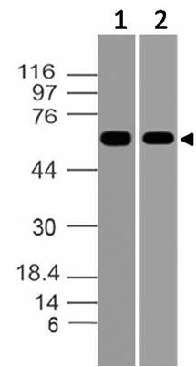 Figure-1: Western blot analysis of Asb-2. Anti-Asb-2 antibody (11-8110) was used at 0.5 µg/ml on (1) HepG2 and (2) K562 lysates.