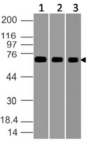 Figure-1: Western blot analysis of GRP78. Anti-GRP78 antibody (11-8111) was used at 1 µg/ml on (1) A431, (2) HepG2 and (3) RAW lysates.