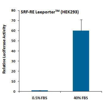SRF-RE Reporter – HEK293 Cell Line