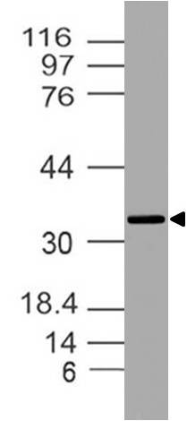 Figure-1: Western blot analysis of DEDD2 . Anti- DEDD2 antibody (20-1062) was used with 1:2000 dilution on Raw lysate.