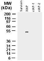 Fig:1 Western blot analysis of recombinant full-length IAP proteins using polyclonal antibody to XIAP (20-1106) at 1:2000. The data shows that the antibody recognizes only XIAP and not the other IAP proteins.