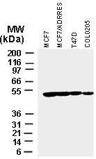 Fig:2 Western blot analysis of XIAP in various tumor cell lines using 20-1106 antibody at 1:2000.