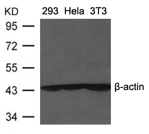 Polyclonal Antibody to beta-actin