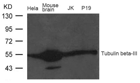 Polyclonal Antibody to Tubulin beta-III