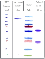 COVID-19 (Sars-Cov-2/nCov) Spike RBD Antibody (Humanized-Functional)